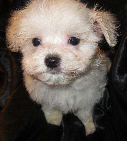 Maltese Male Puppies
