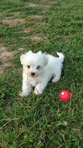 maltese puppies for sale in ky maltese male puppy for sale in glasgow kentucky 501