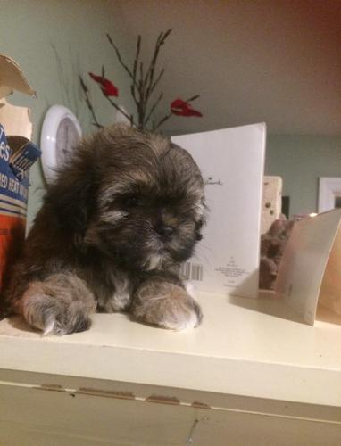 Maltese Miniature Poodle Shih Zue Mix Pups For Sale For