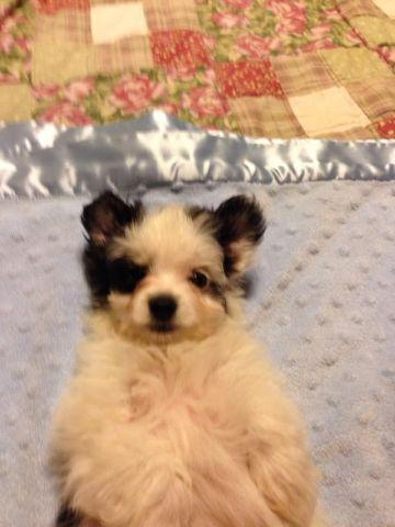 pomeranian puppies for sale in michigan ebay maltese pomeranian mix female puppy for sale in sacramento 937