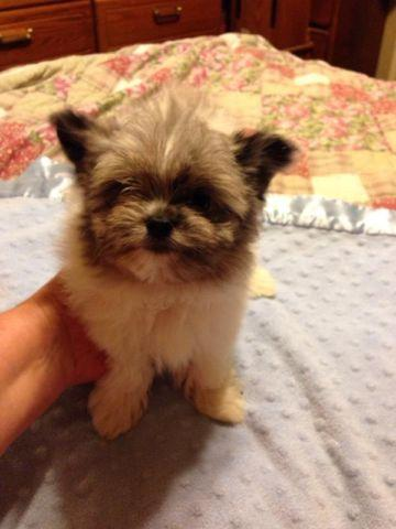 pomeranian california maltese pomeranian mix puppy for sale in sacramento 2394