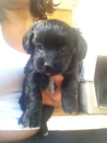 Maltese/poodle puppies black/white for Sale in Hi Vista ... Black Maltese Poodle Puppies