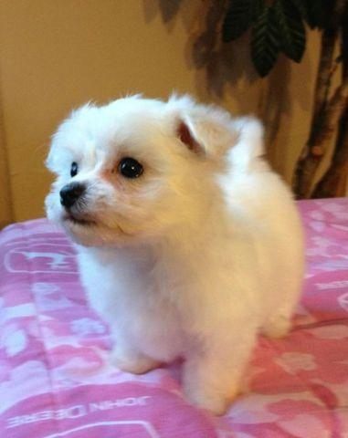 maltese puppies for sale in sc maltese puppies ckc registered for sale in aynor south 7242