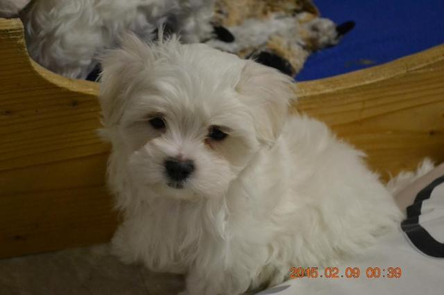 Maltese Puppies For Sale Great Gift Idea For Sale In Obrien