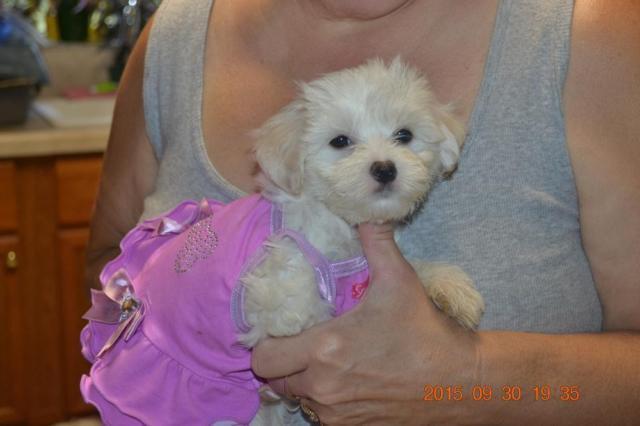 Maltese Puppies For Sale Great Pets For Sale In Obrien Florida