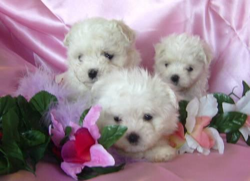 Maltese puppies,full AKC registration, 3 females, ready