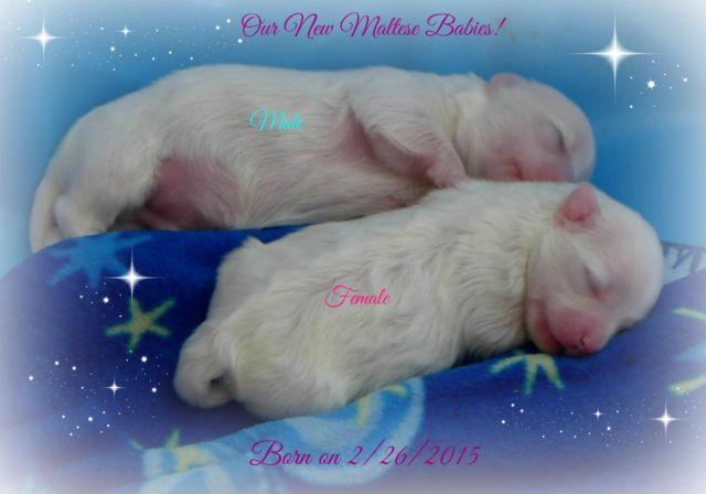 Maltese Puppy~Adorable Male **Timothy** (SOLD)