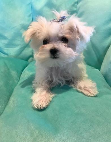 Maltese Puppy For Sale Adoption Rescue For Sale In Orange City