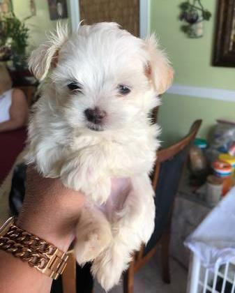 Maltese Puppy For Sale Adoption Rescue For Sale In Dallas Texas