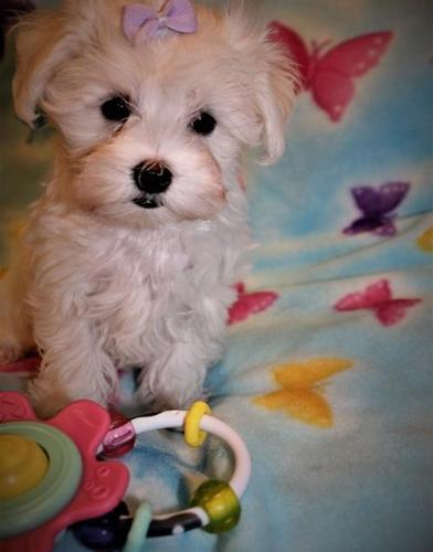 Maltese Puppy For Sale Adoption Rescue For Sale In Sioux Center