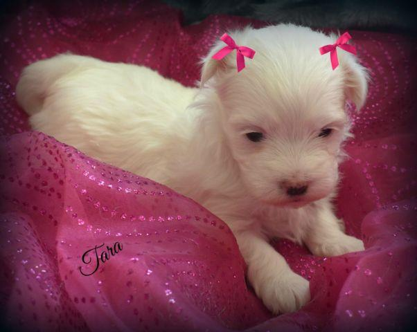 Maltese Puppy~Gorgeous Female ***Tara***