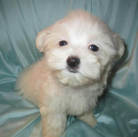 Maltese - purebred Male Puppies