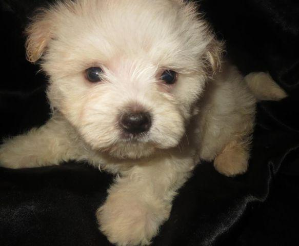 Maltese (purebred, registered) Male Puppies