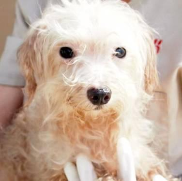 Maltese - Raleigh - Small - Adult - Male - Dog