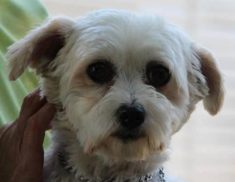 Maltese - Shelli - Small - Adult - Female - Dog