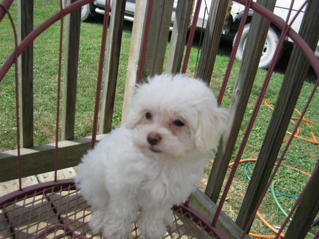 Maltese/Shih Tzu Designer Puppy