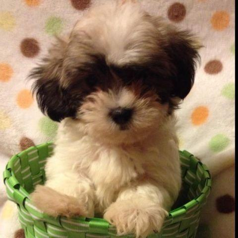 Malteseshih Tzu Puppies For Sale In Raleigh North Carolina