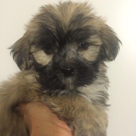 Maltese/Shih tzu's 3 fluffy puppies different colors 9