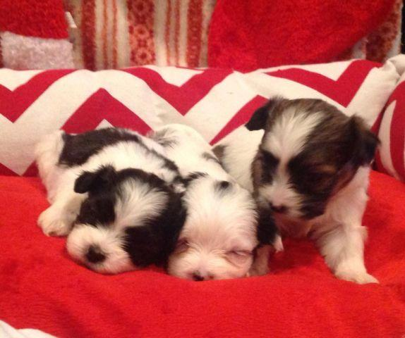 MALTESE TEDDY BEARS (maltese and shih tzu, bichon mix) for ...