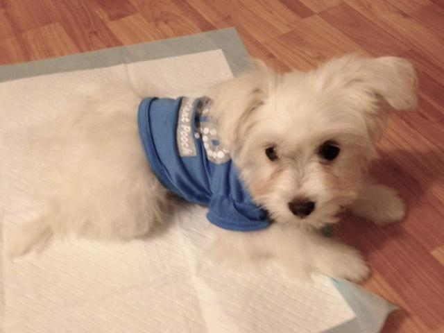 Maltese Terrier Mix Puppy For Sale In Huntington Beach