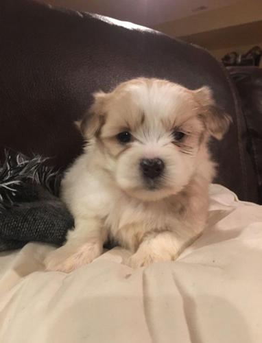 Maltese X puppies for sale