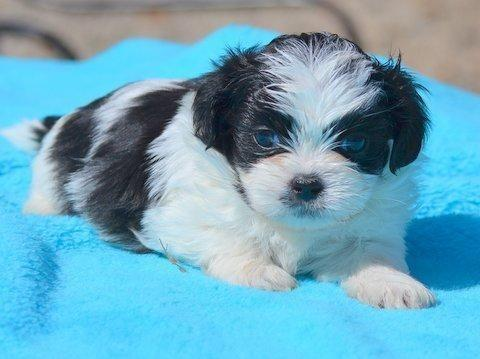 Maltese X Shih Tzu Mix Fur Babies For Sale In Moscow Ohio