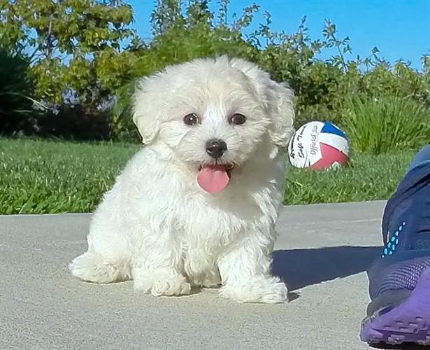 Maltese X Toy Poodle Maltipoo
