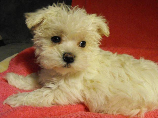 Malteseyorkie Mix For Sale In Branson Missouri Classified