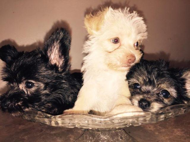 Maltese Yorkie Mixed Puppies For Sale In Fallbrook California
