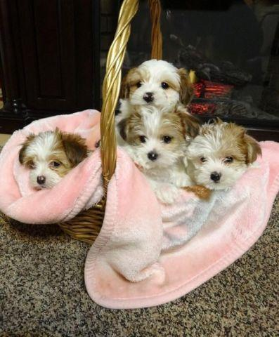 yorkie maltese puppy for sale maltese yorkie puppies for sale in marysville washington 3582