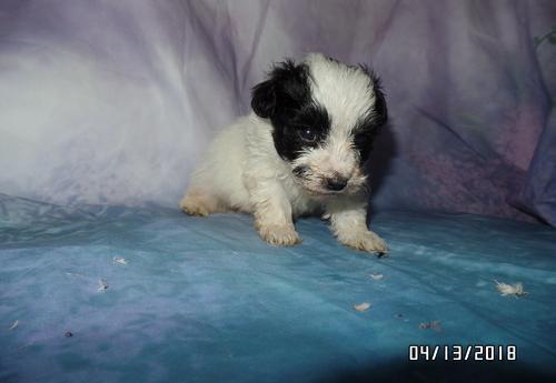 Malti Poo Puppy for Sale - Adoption, Rescue