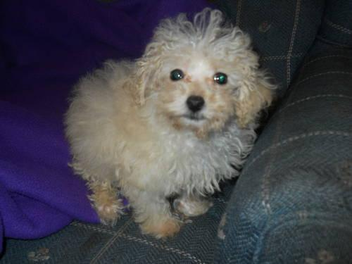 Malti-poo Teacup male Ready now Very small 4 months 2