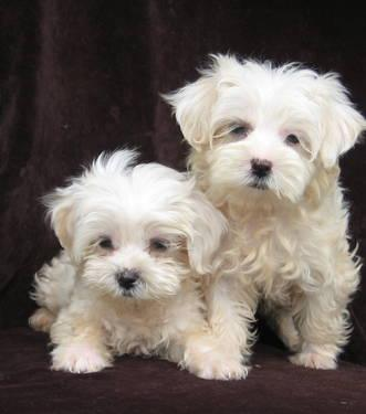 Lost Gold In North Carolina http://goldhill-nc.americanlisted.com/28071/pets-leasure-time-hobbies/malti-tzu-pups-male-mini-schnauzer-pups_22026759.html
