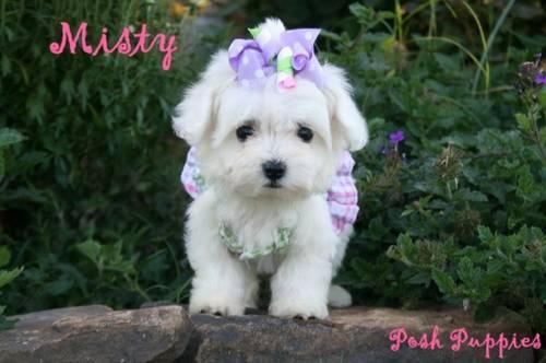 Fine Maltipoo Female Extremely Small For Sale In Cabot Arkansas Short Hairstyles For Black Women Fulllsitofus