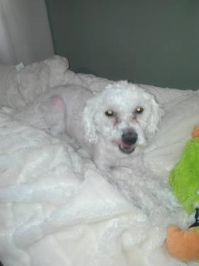 Maltipoo Male 1 5 Year Old For Sale In Macon Georgia