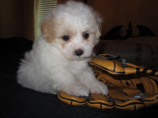 MaltiPoo-Male-Preston-Gorgeous Baby Boy-Non Shedding-8