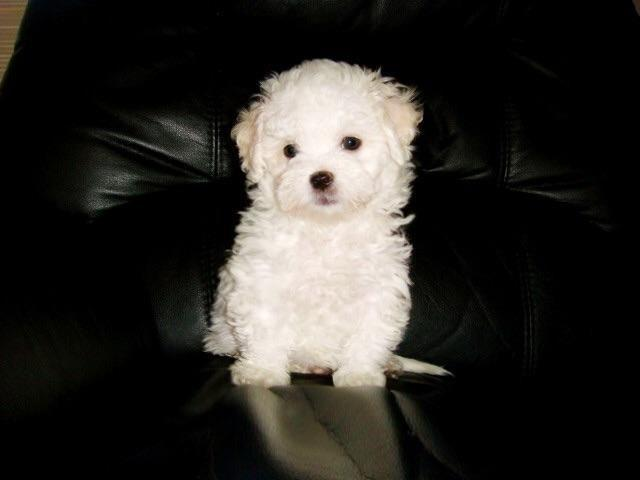 Maltipoo Maltese Poodle White Female Puppy 10 weeks old