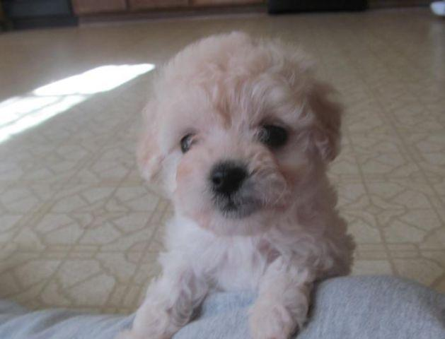 images1 americanlisted com/nlarge/maltipoo-puppies