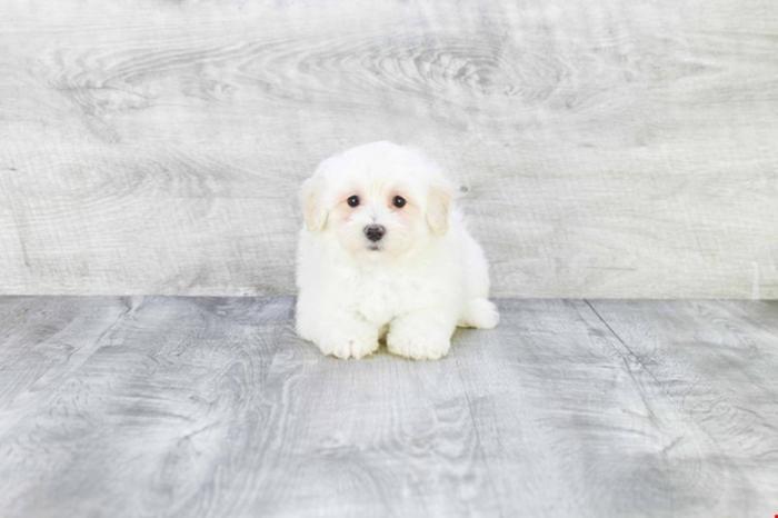 Maltipoo Puppies For Sale!! Misty!! (f), Www premierpups com