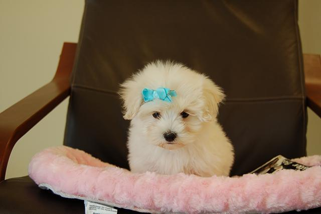 dark red maltipoo puppies for sale in Illinois Classifieds