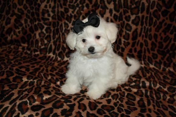 maltese puppies for sale in oklahoma maltipoo puppies maltese poodle mix for sale in atoka 6238