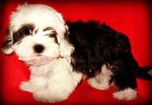 maltese puppy for sale in tn maltipoo puppies maltese poodle mix nonshedding breed for 5456