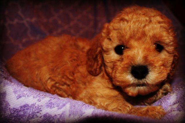 Maltipoo Puppies Perfect Family Pets For Sale In Portland
