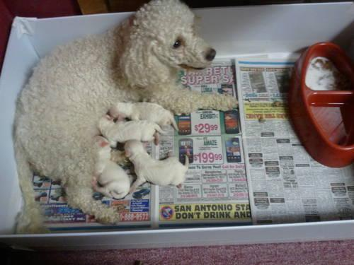 Maltipoo Puppies Poodle Mom Amp Maltese Dad For Sale In