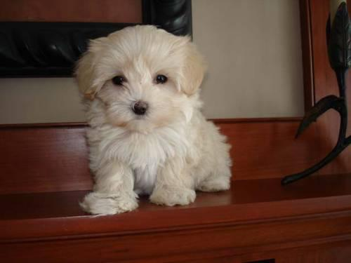 Maltipoo Puppies Ready For Adoption 8 Wks Old For Sale In