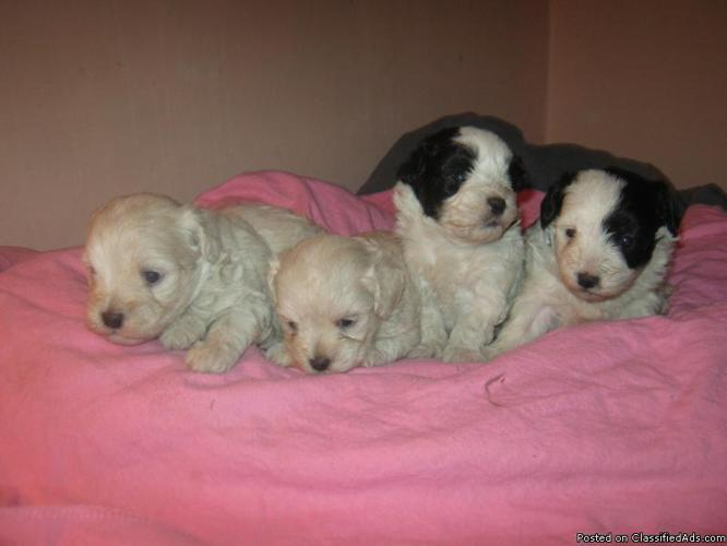Maltipoo Puppies Ready July 4th For Sale In Cedarville New York