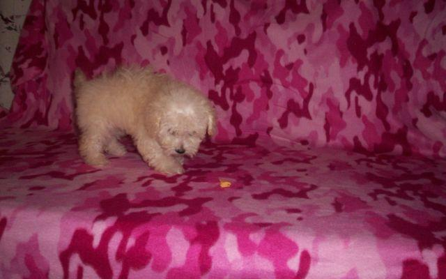 Maltipoo puppy named Hope