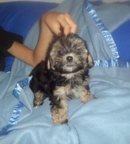 Maltipoo Pups For Sale Male Female For Sale In West Palm Beach