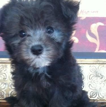 Maltipoo Puppies on Maltipoo Puppies For Sale In Bowerstown  Indiana Classified