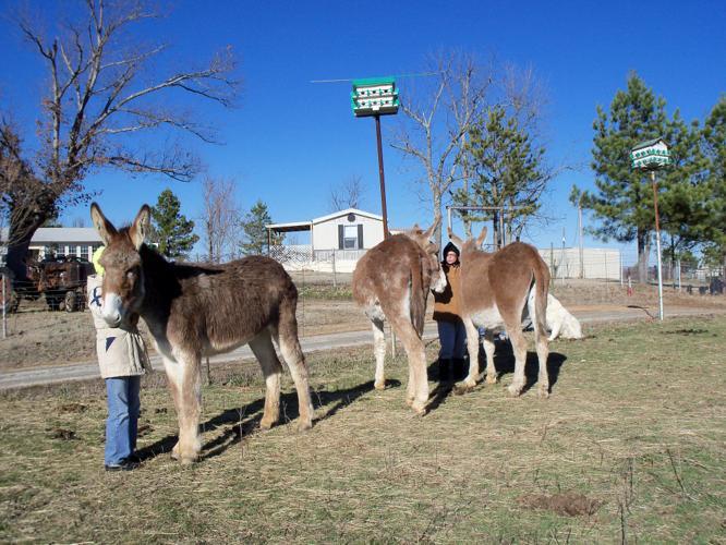 Mammoth Donkeys Jennies